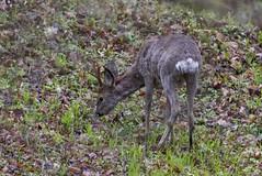 Stirna / Capreolus capreolus / Roe Deer (Jonas Juodišius) Tags: lietuva lithuania vilnius verkiai verkiųparkas stirna capreoluscapreolus roedeer