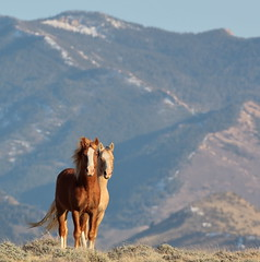 Composure (chad.hanson) Tags: wyoming wildlife mustangs wildhorses ferrismountains greenmountainhma