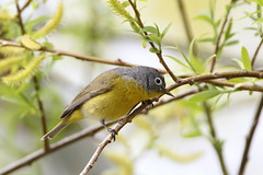 Nashville warbler (jlcummins - Washington State) Tags: nashvillewarbler yakimacounty washingtonstate bird canon tamronsp150600mmf563divcusd natureenthusiasts livingjewelsofnature