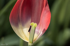 Just one of each (Irina1010) Tags: tulip macro petal pistil stamen one oneofeach flower spring light shadow red beautiful nature canon