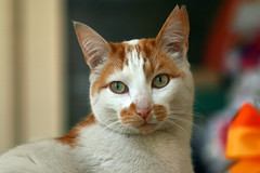 Ginger & White (katjacarmel) Tags: ginger white kat gato chat animal pet orange dieren huisdier cat cute portrait green eyes