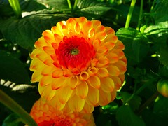 Yellow Pompom Dahlie (libra1054) Tags: dahlien dahlia dalia yellow gelb amarelo giallo jaune amarillo blumen flores fiori flowers fleurs flora garden garten giardino jardim jardin jardîn outdoor