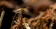dragonfly (Sriini) Tags: dragonfly sun sunlight shining wings sunreflectingwings dry dirt mud india