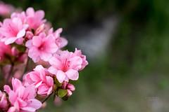 영산홍 Rhododendron indicum (Daegeon Shin) Tags: 영산홍 rhododendronindicum 365 니콘 니콘렌즈 nikon d750 nikkor 55mmf28 flor flower spring primavera dof bokeh planta plant 꽃 봄 심도 보케 빛망울