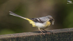 Grey Wagtail (Mick Erwin) Tags: grey wagtail nikon 600 without converter afs 600mm f4e fl ed vr lens d810 mick erwin stoke trent staffordshire wildlife nature