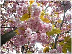Prunus serrulata ... (** Janets Photos **) Tags: uk spr springtime flowers trees cherryblossom