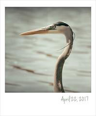 Great blue heron. (jeanne.marie.) Tags: 3652017 lake greatblueheron spring bird