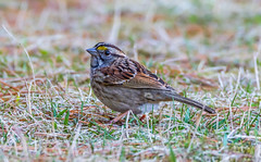 White- throated Sparrow (d.gale052) Tags: 2017 april bird thicksonwoods whitby whitethroatedsparrow wild