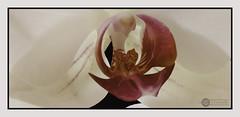 Phalaenopsis (J.Gargallo) Tags: orchid orquidea phalaenopsis planta plantas flor flower flores flowers indoor macro macrofotografía castellón comunidadvalenciana castellóndelaplana españa eos450d eos 450d canon canon450d tokina tokina100mmf28atxprod framed