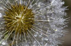 Rainforest planet (lkiraly72) Tags: dandelion waterdroplets drops planet macro dof plant
