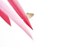 Pacified (leo.vcastro) Tags: flor pétala bromélia borboleta billbergiazebrina billbergia zebrina brazil minas minasgerais mg branco flower petal bromeliadbutterfly pink rosa corderosa white big grande giant gigante