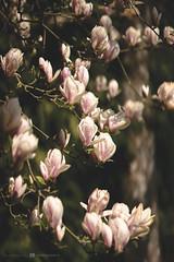 (CarolienCadoni..) Tags: sonyslta99 sal85f14z 85mm magnolia pink spring colors bokeh dof stadskanaal groningen nederland netherlands light shadows