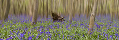 bluebell fairytale wood (Daz Smith) Tags: dazsmith fujixt20 fuji xt20 andwhite bath uk mono woodstrees outside nature flowers bluebells natural llandscape copse trees vegetation fairytale woods wood green blur motion