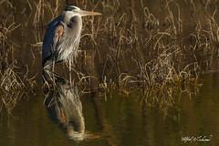 Great Blue Heron_20A8986 (Alfred J. Lockwood Photography) Tags: alfredjlockwood nature wildlife bird greatblueheron morning winter bearcreekpark keller texas reflection