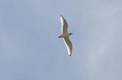 Bonaparte's Gull (Larus philadelphia); Wilcox, AZ, Twin Lakes [Lou Feltz] (deserttoad) Tags: bird nature water arizona lake flight gull wildbird