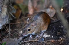 Mouse (The kun) Tags: nikon nikond5000 nikkor55200 werner animal mouse animalplanet