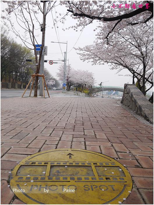 首爾汝矣島輪中路櫻花 (67).JPG