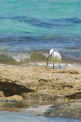 ShoshanaBeach_2324_140329 (Savyoney Eitan) Tags: sea fish bird beach egret littleegret חוף ציפור דג לבניתקטנה לבנית