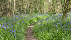 Lady's Wood (image 1 of 3) (Full Moon Images) Tags: wood nature bluebells woodland wildlife bcn reserve ladys trust bluebell cambridgeshire upwood