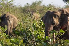 elephan (BigZoic) Tags: india elephant asia wildlife safari sri lanka elephants normal srilanka savage sauvage