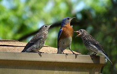 The Bluebird Fledglings are here! (ChicaD58) Tags: rooftop nature spring backyard hungry bluebird babybird fledgling easternbluebird 171a learninglifeslessons