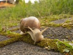 Weinbergschnecke 2 (Oliver Deisenroth) Tags: animal snail schnecke tier