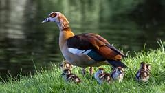 Egyptian Goose & gosling  | Nilgans mit Küken