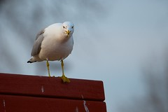 Bench Gull (imageClear) Tags: sky bird nature wisconsin bench nikon flickr wildlife seagull gull telephoto perch stare sheboygan lakeview photostream afs webbed 80400mm ringbilled d7000 imageclear