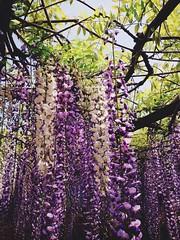 Wisteria -  (SaigoDon) Tags: park white flower japan spring shrine purple kagoshima    wisteria kyushu   kirishima    makizono waki
