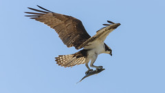 Adult Male Osprey,. (John Mac Giolla Phdraig Leisen) Tags: california wild fish newyork bird nature birds hawk conservation wyoming devlin environmentalscience hawks fitzpatrick migrating migrate jackleisen johnfitzpatrickleisen adirondackmammalsenvironmentalscience lauriesigel adirondackmammals