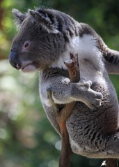 IMG_3736 (Janet Everhard) Tags: animals vertical profile australia 5x7 koalas superiority