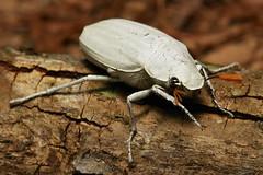 White Scarab Beetle (Cyphochilus insulanus, Melolonthinae) (John Horstman (itchydogimages, SINOBUG)) Tags: china white macro topf25 insect top beetle yunnan trap scarab coleoptera scarabaeidae melolonthinae sinobug itchdogimages