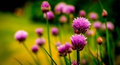Flowering Chive (Trev Bowling) Tags: flower nikon purple bokeh magenta chive nikond3200 d3200 persephonesgarden