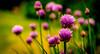 Flowering Chive (Trevor Bowling) Tags: flower nikon purple bokeh magenta chive nikond3200 d3200 persephonesgarden