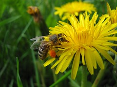 Apis mellifera - pszczoa miodna, Western honey bee (Utricular) Tags: flowers flower nature fauna insect spring flora wildlife poland polska natura dandelion bee honeybee springtime kwiaty entomology apis wiosna pollenbasket kwiat taraxacumofficinale owad pszczoa apismellifera commondandelion entomologia corbicula mniszek mniszeklekarski westernhoneybee europeanhoneybee przyrodapolski mniszekpospolity pszczoamiodna natureofpoland polishnature polskaprzyroda floraofpoland faunapolski faunaofpoland florapolski naturapolski obne obna