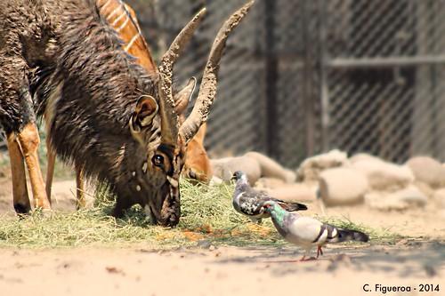 Palomas invasoras // Invasive pigeons