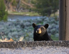 Black Bear 1 (Jay Perry) Tags: bear nature wildlife yellowstonenationalpark yellowstone blackbear ynp