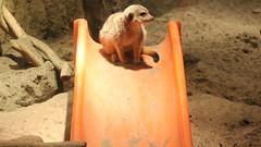 On the Slide (blazer8696) Tags: usa aquarium meerkat unitedstates norwalk connecticut ct maritime 2014 ecw southnorwalk img4557 furandfeathers t2014