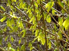 FORSYTHIA..... (Daisy.Sue) Tags: forsythia shrub yellowflowers bellshaped putnamcounty carmelny forsythiaintermedia noscent spring2014 shaggylooking