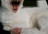 bocejo (koheka) Tags: white tongue cat sleep língua teeth sleepy lazy gato preguiça sono dente branca bocejo ponchita