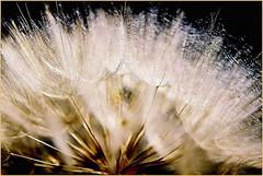 DANDILION (louisemcduling) Tags: brown black flower macro nature hair flora nikon fotografie room cream seed natuur stems saad makro dandilion photgraphy bruin feathery blom swart haartjies feertjies steeltjies