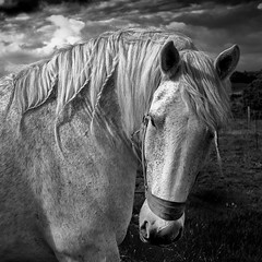 Percheron (Mark Candlin) Tags: blackandwhite nik whitehorse equine platt loh percheron heavyhorse silverefexpro2 fujix100