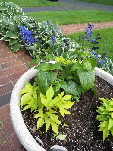 Sweet Potato Vine, Black & Blue Salvia