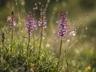 Chalk Fragrant Orchids