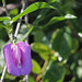 Spurred Butterfly Pea (Centrosema virginiana)