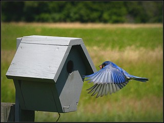 Feeding Time At A Bluebird House