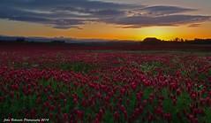 Red Clover Sunset (John Behrends) Tags: red oregon pentax portlandoregon clover redclover northplains