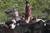 IMG_6650 (blackhawk32) Tags: horses horse cowboys cowboy cattle shell wranglers wyoming cowgirl cowgirls rivercrossing wy wrangler horserunninginwater hideoutlodge