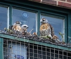 Five weeks old (Goggla) Tags: new york nyc red urban baby building bird square village apartment nest hawk tail chick east raptor tompkins eyas christodora