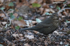 Female Common Blackbird - Amelisweerd, Bunnik, The Netherlands